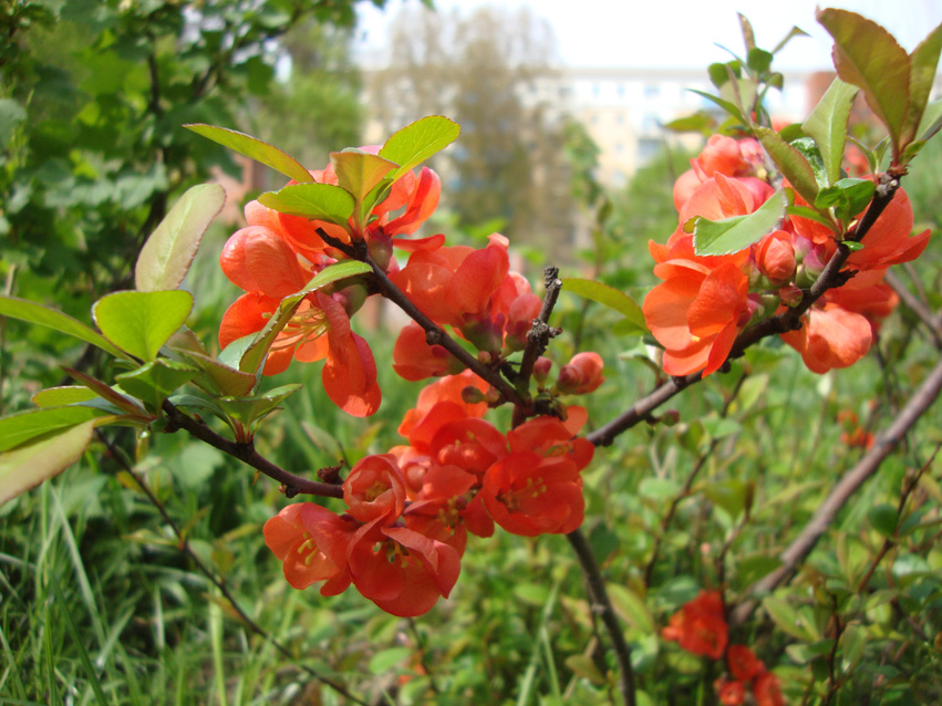 Rosa Rose Fruehling