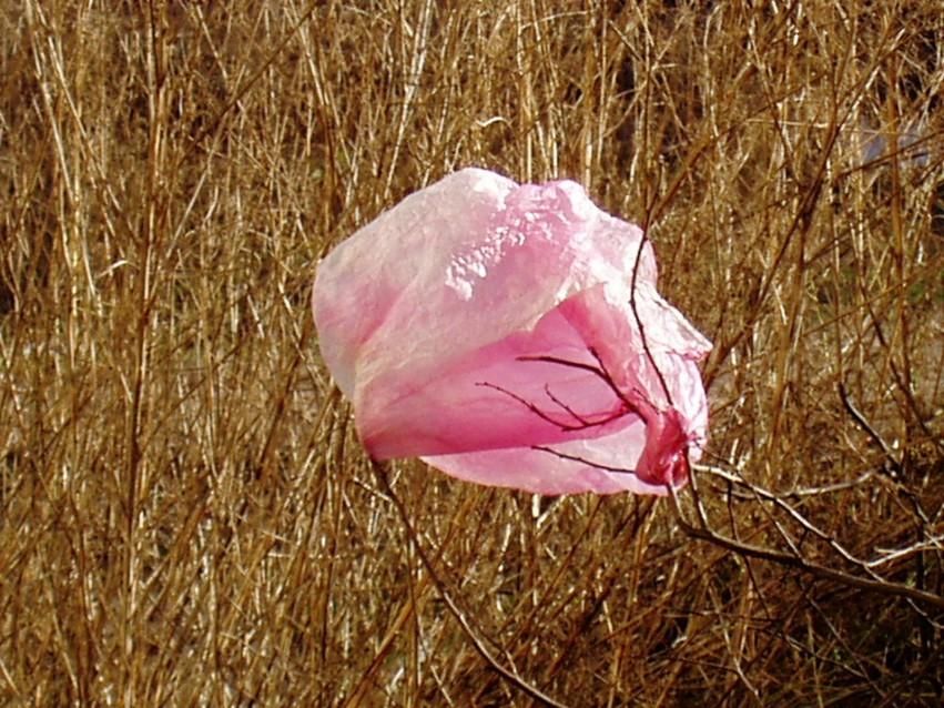 Rosa Rose 2004